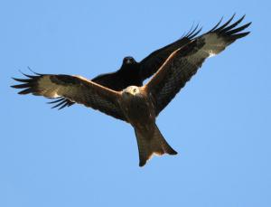 Kite v crow. No contest